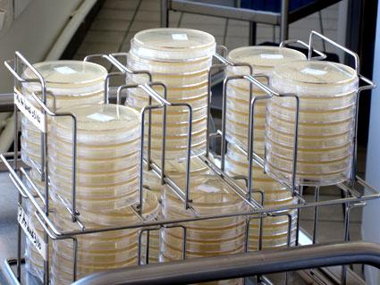 Les boîtes de Petri permettent un dénombrement très précis des germes.